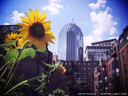 Photograph: Sunflower