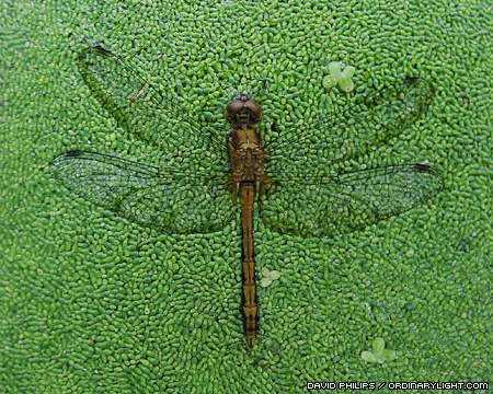 Photograph: Dragonfly Carcass