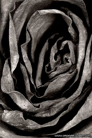 Photograph: Dried Rose Abstract