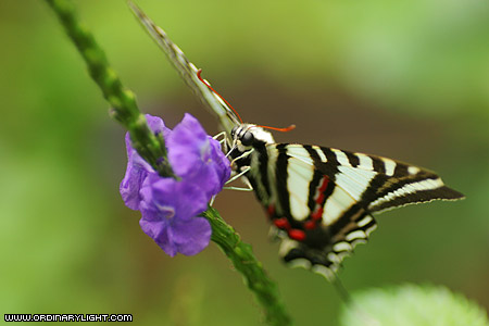 Photograph: Zebra Swallowtail Butterfly