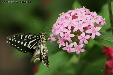 Photograph: Xuthus Butterfly