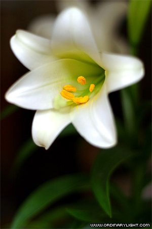 Photograph: Easter Lily