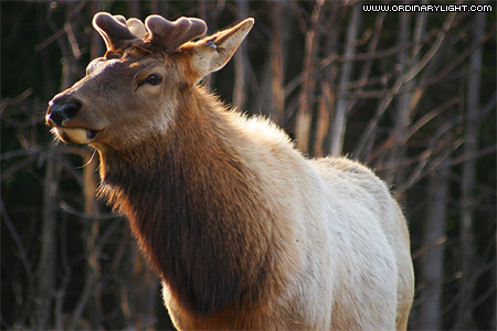 Photograph: Elk Portrait