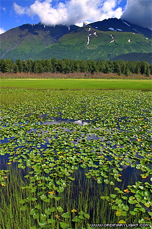 Photograph: Lily Pond