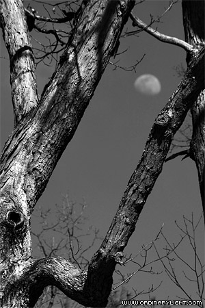 Photograph: Tree and Moon