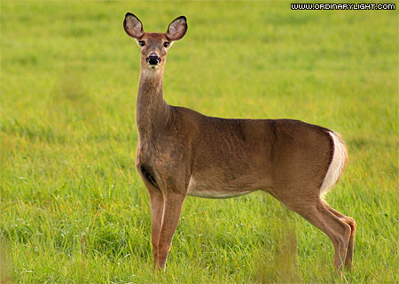 Photograph: Whitetail Doe